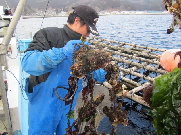 養殖した牡蠣の収穫の見学やむき身体験(かき・ほたて基地